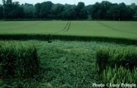 1993年6月汉普郡麦田怪圈现象